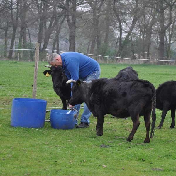 De boer met de koeien